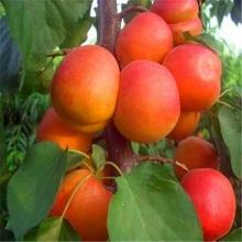 Nakhchivan apricot seedlings
