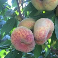 نهال هلو انجیری پلنگی - Leopard fig peach seedlings