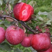 نهال سیب تو سرخ Redlove ریشه لخت