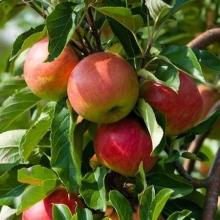 نهال سیب گلاب کهنز پایه بذری ریشه لخت
