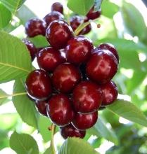 نهال گیلاس لاپینز - Lapins cherry seedlings