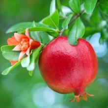 wonderfull Pomegranate seedlings