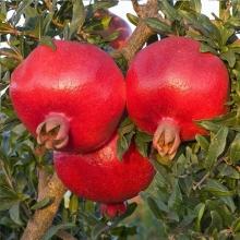 Pomegranate seedlings