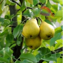 Dargzi pear seedlings (seed base)