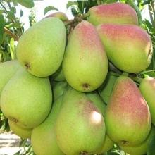 Pear Dvshyz