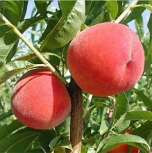 Alberta peach seedlings seed base